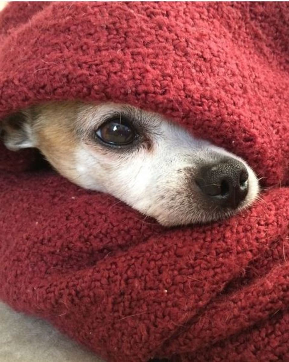 Diabetic ketoacidosis in dogs can cause chilling.