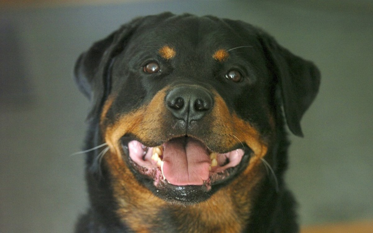 Addison Disease in Dogs
