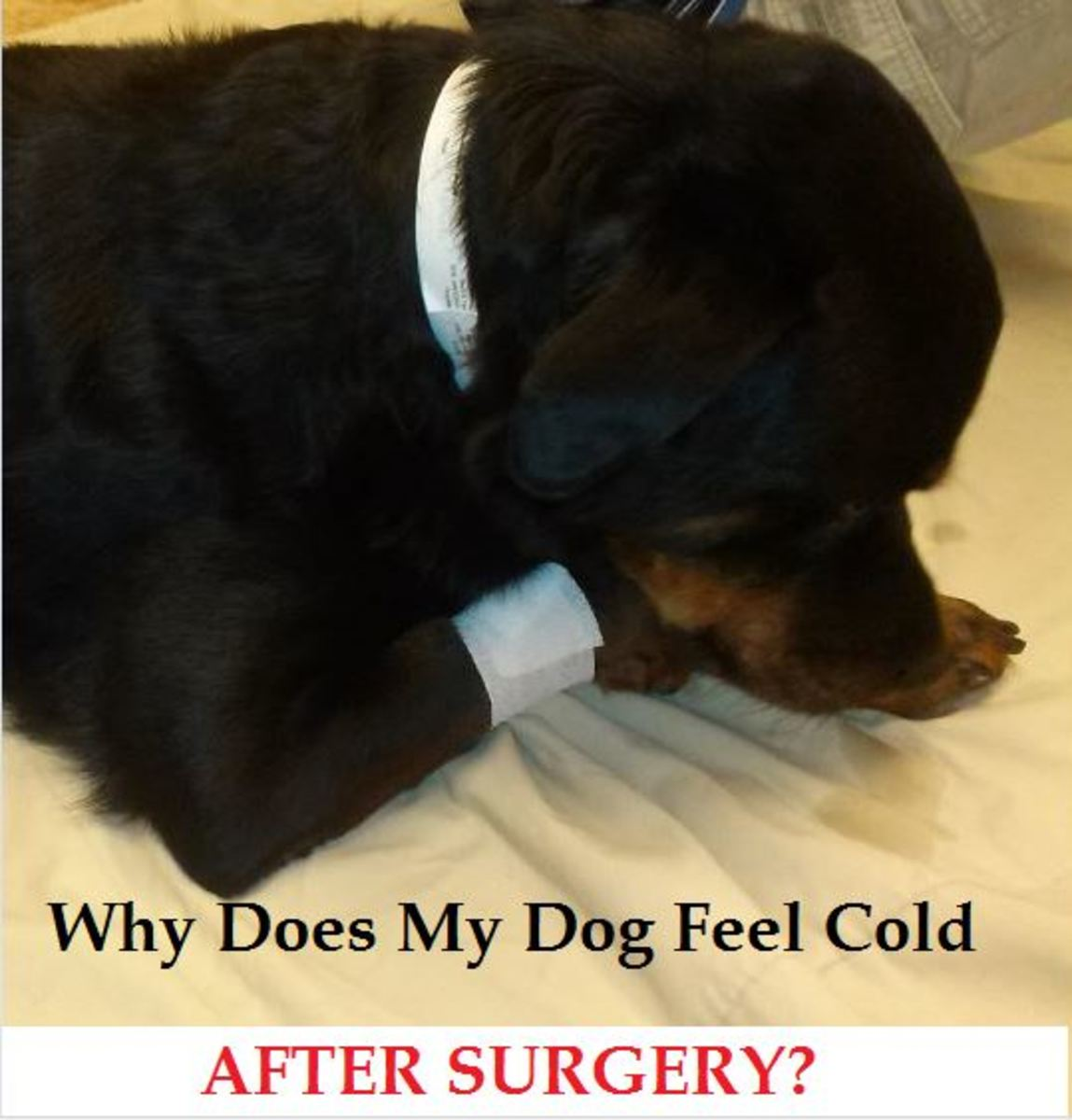 dog cold after surgery