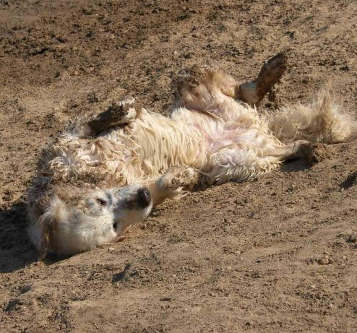 This dog definitely needs a bath!