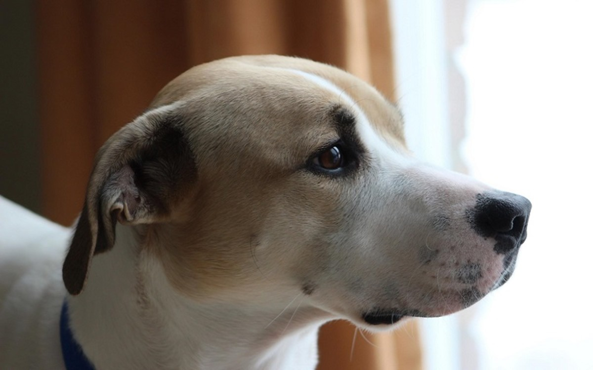 What Causes a Dog's Ear Hematoma to Come Back After Surgery?