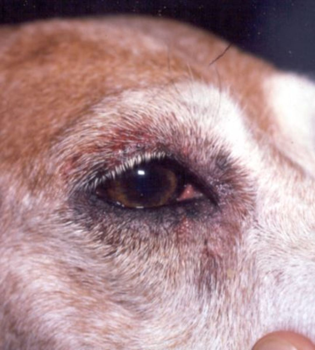 A case of canine atopy