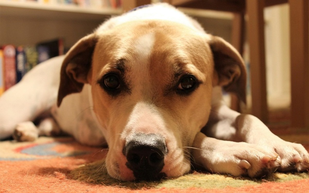 Help for a Dog With a Fractured, Broken Toe