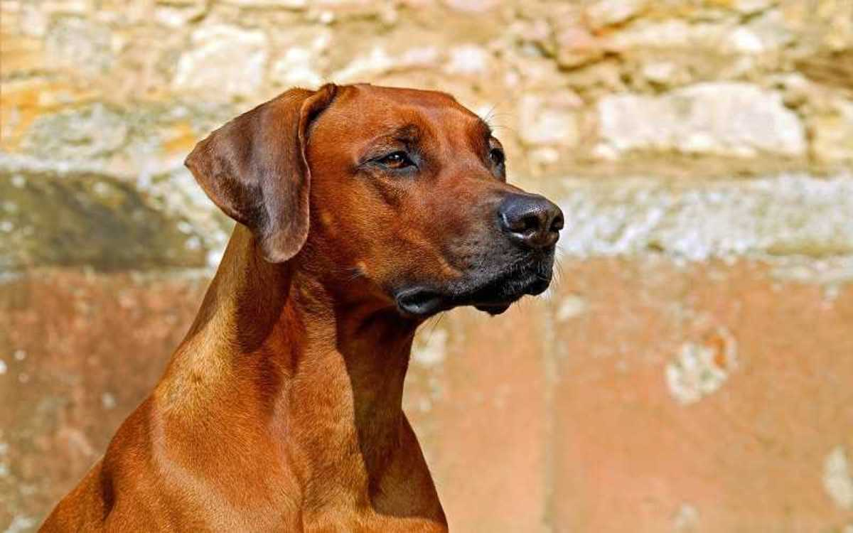 Dog Breathing Using Abdominal Muscles