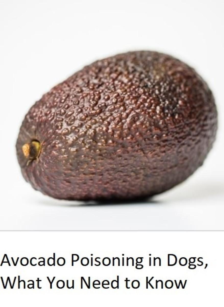 Dog ate avocado