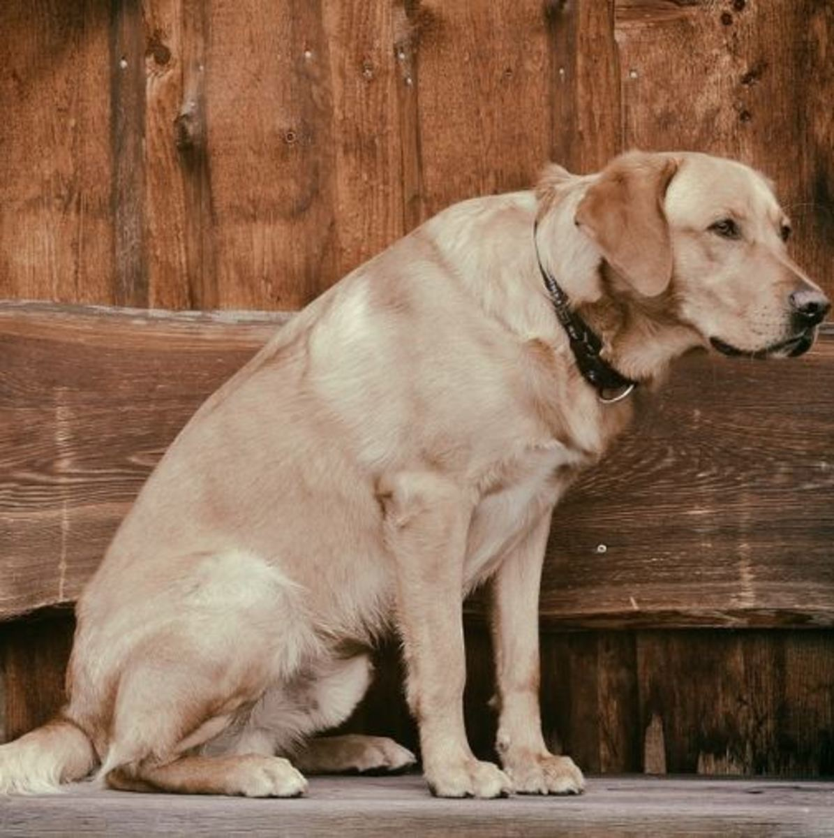 Labs are prone to laryngeal paralysis