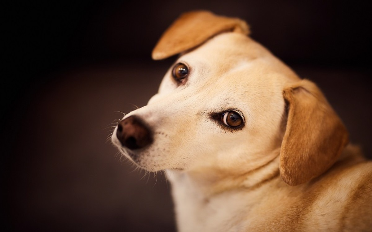 Heart Failure in Dogs