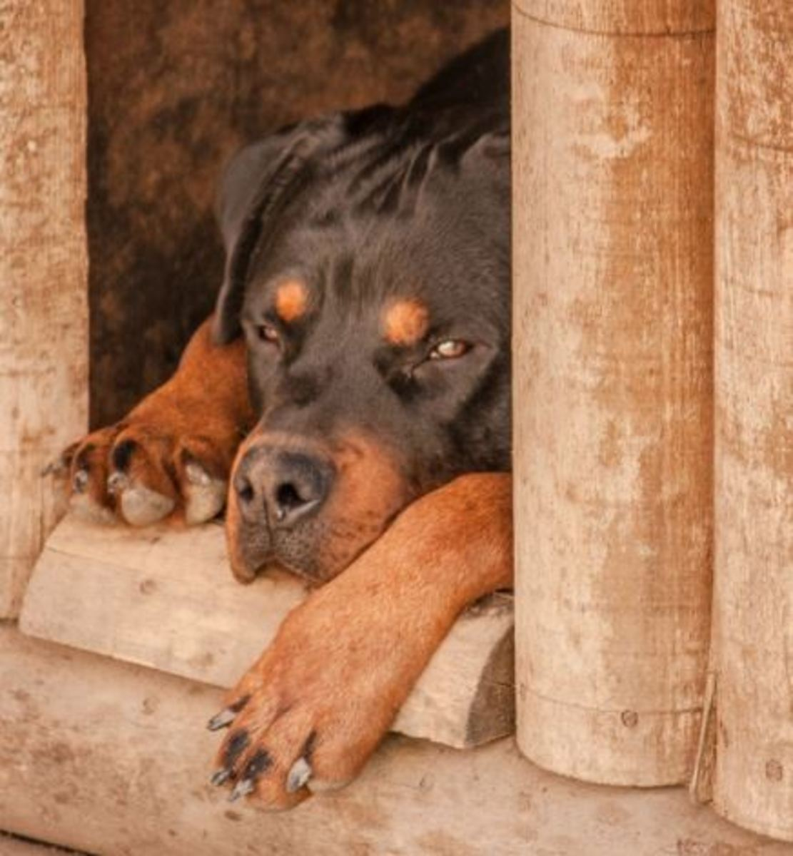 Osteosarcoma in dogs affects Rottweilers among other breeds.