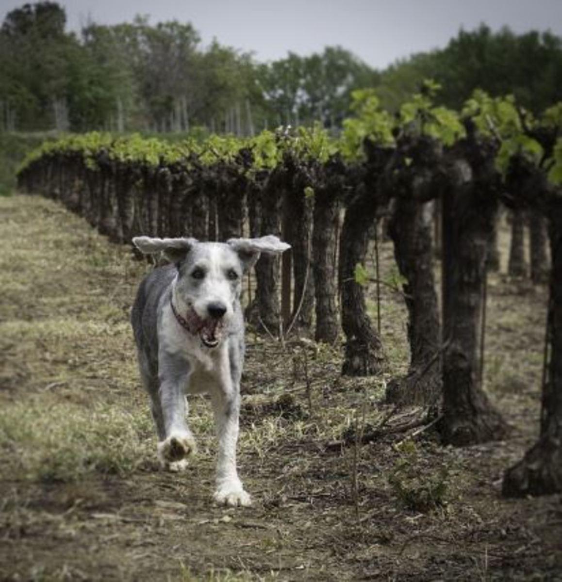 dog grape