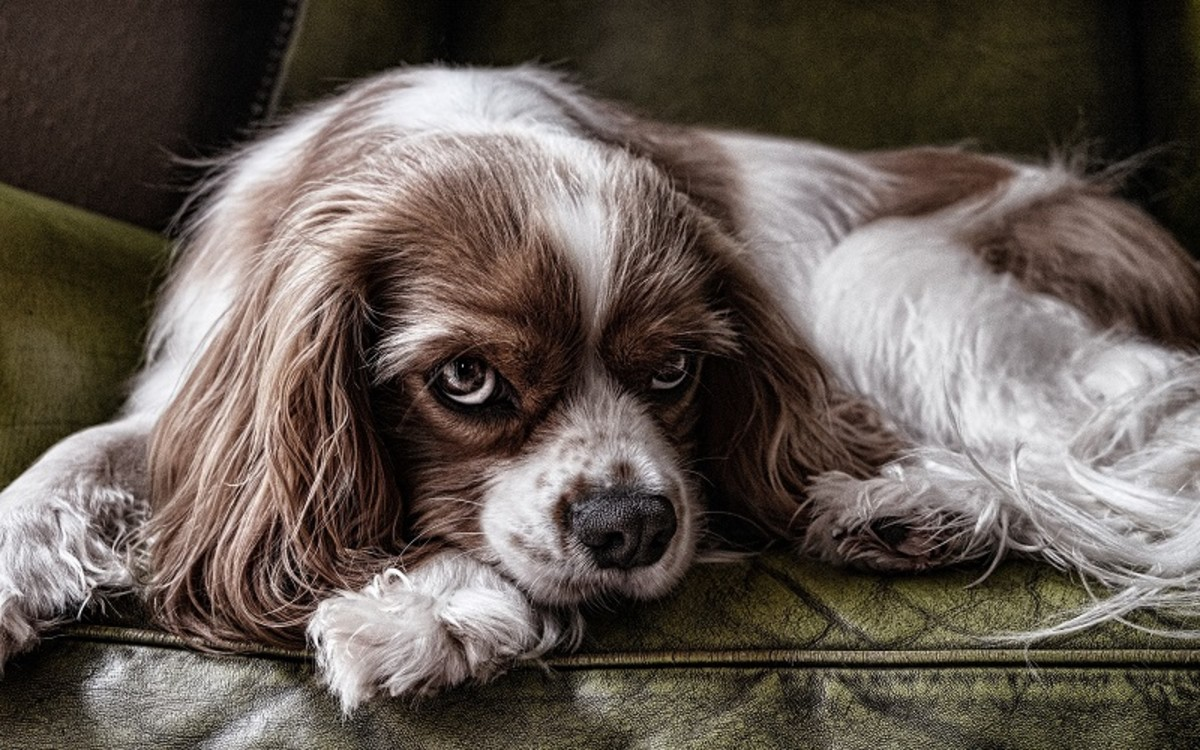 Cerenia Side Effects in Dogs