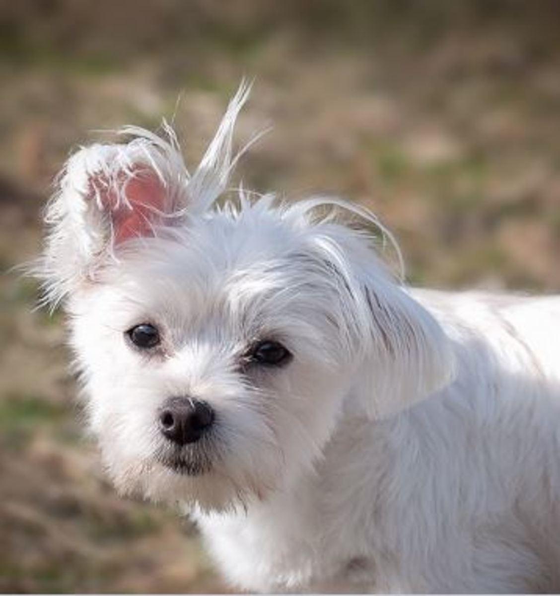 Ear Drops Causing Deafness in Dogs