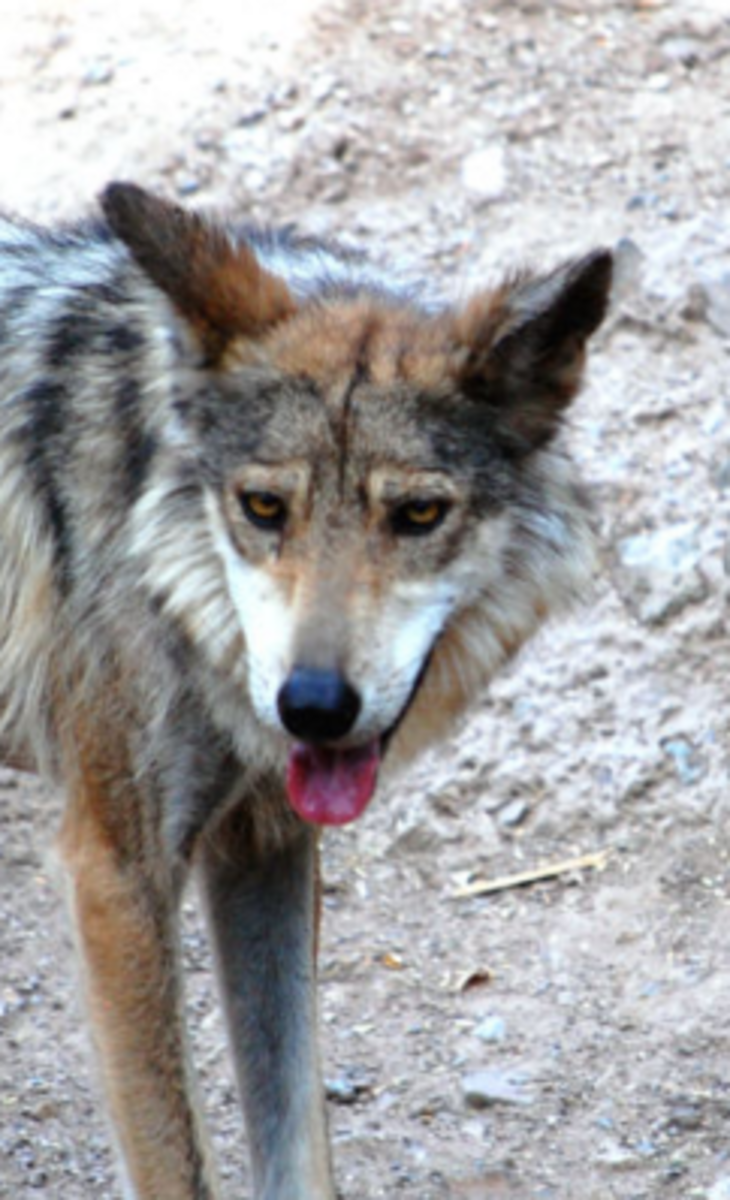 wolf face markings