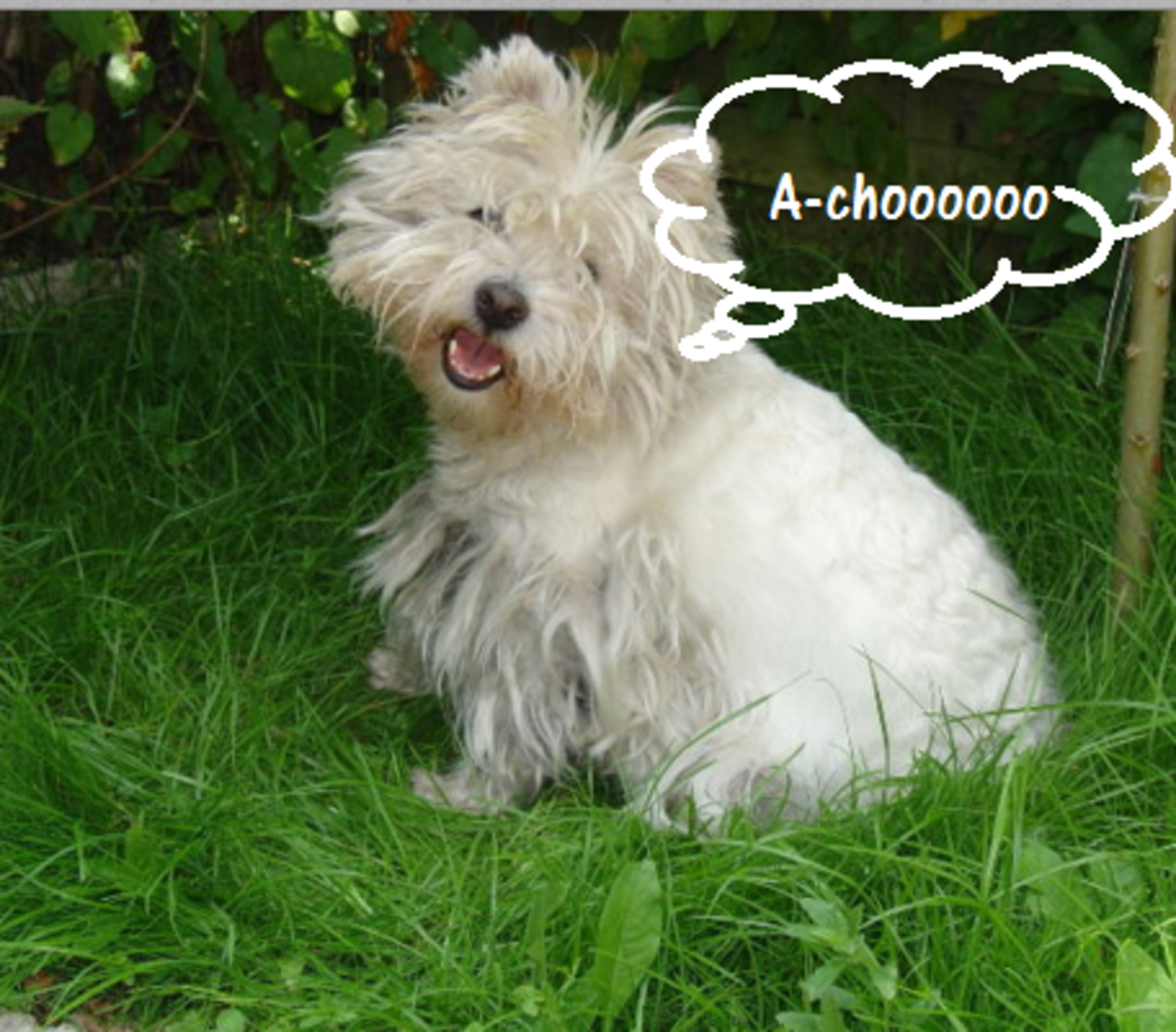 dog sneezing foxtail