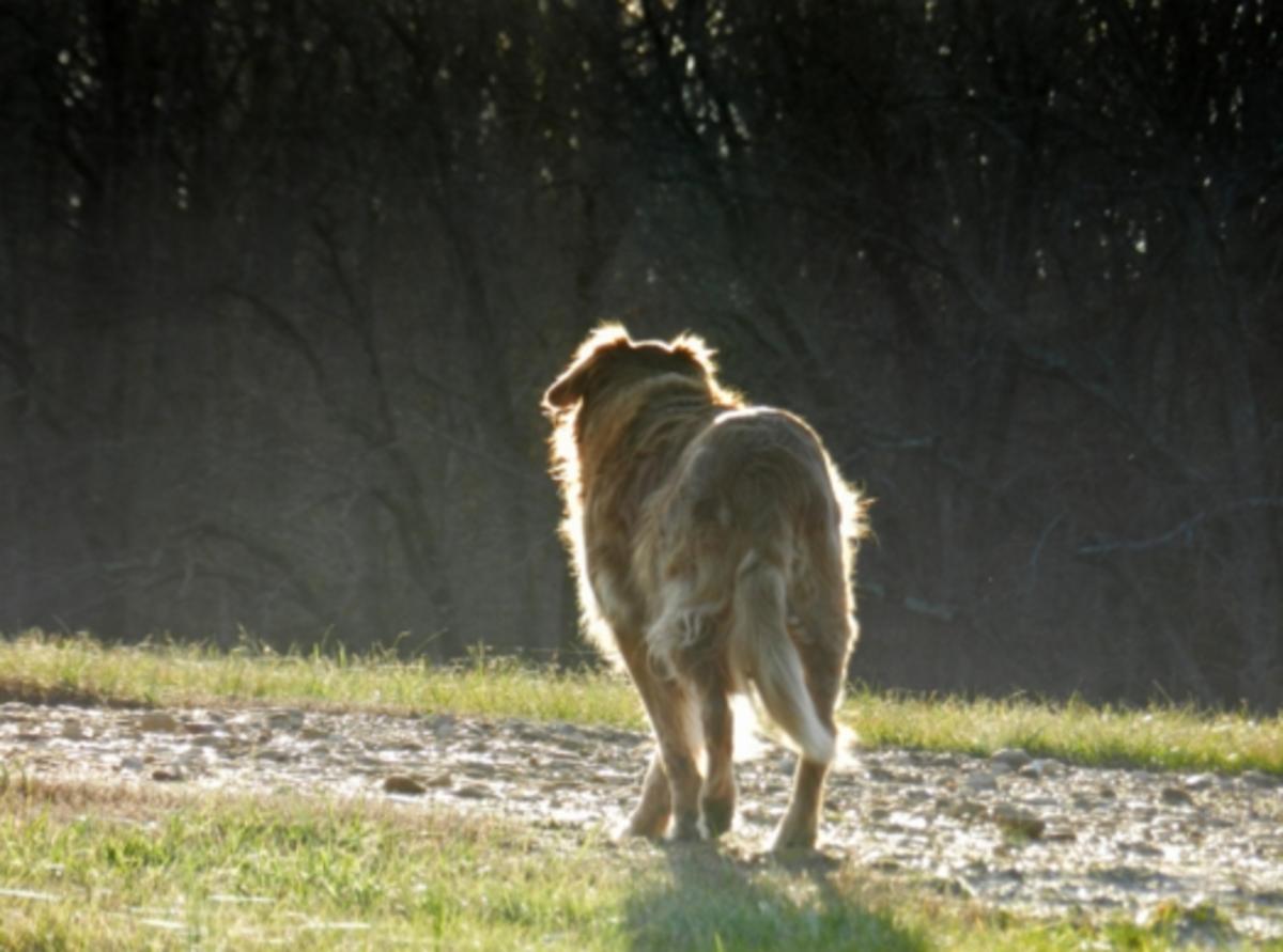 dog limping no pain