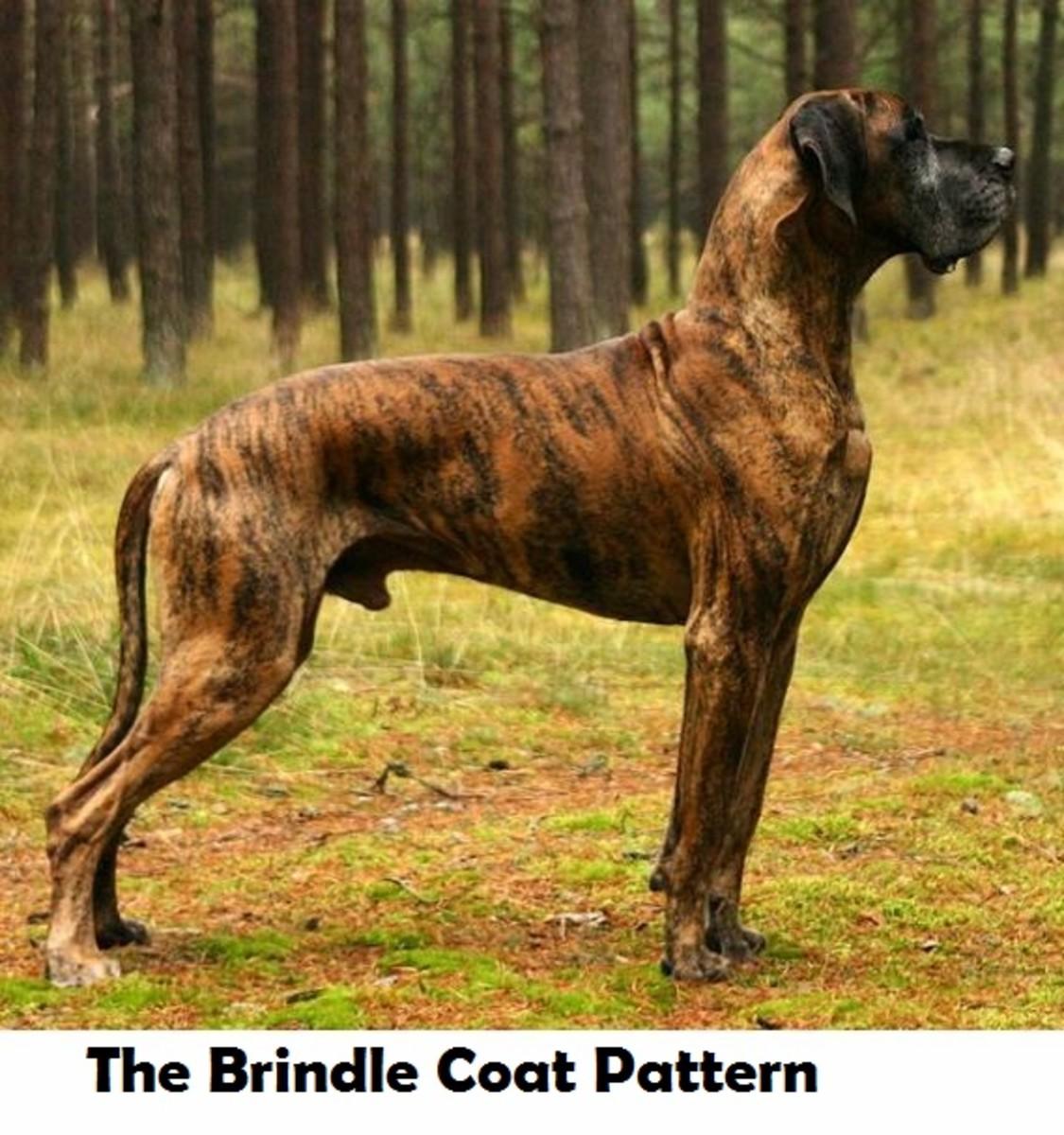 dog-brindle-coat
