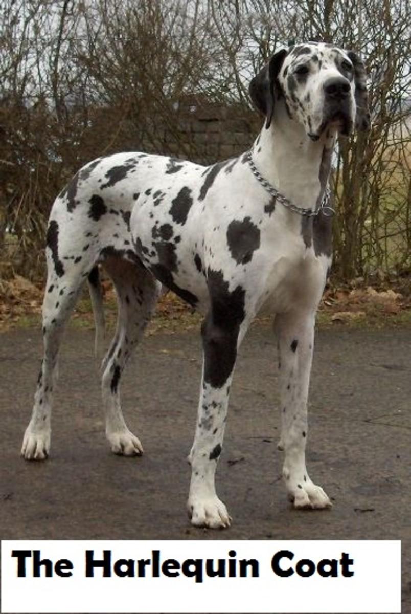 harlequin-dog-coat