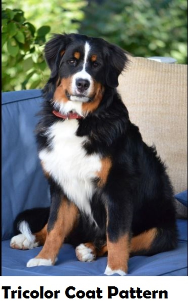 tricolor-dog
