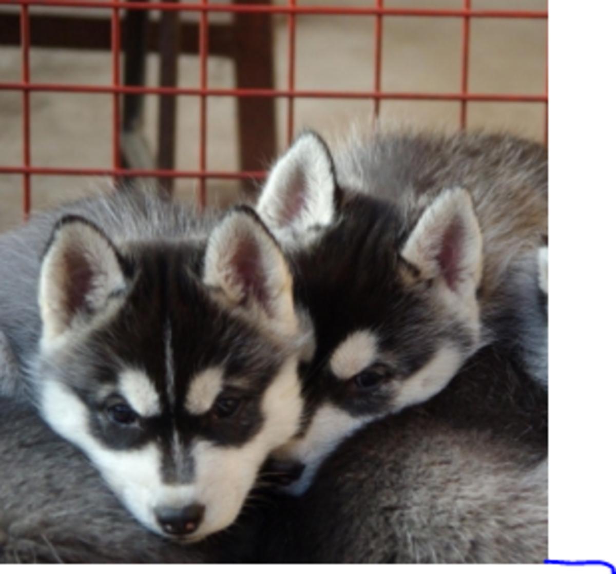 puppies prone to respiratory disease