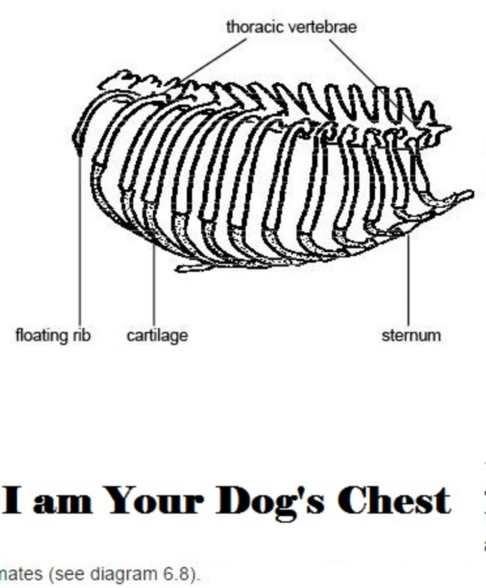 dog chest