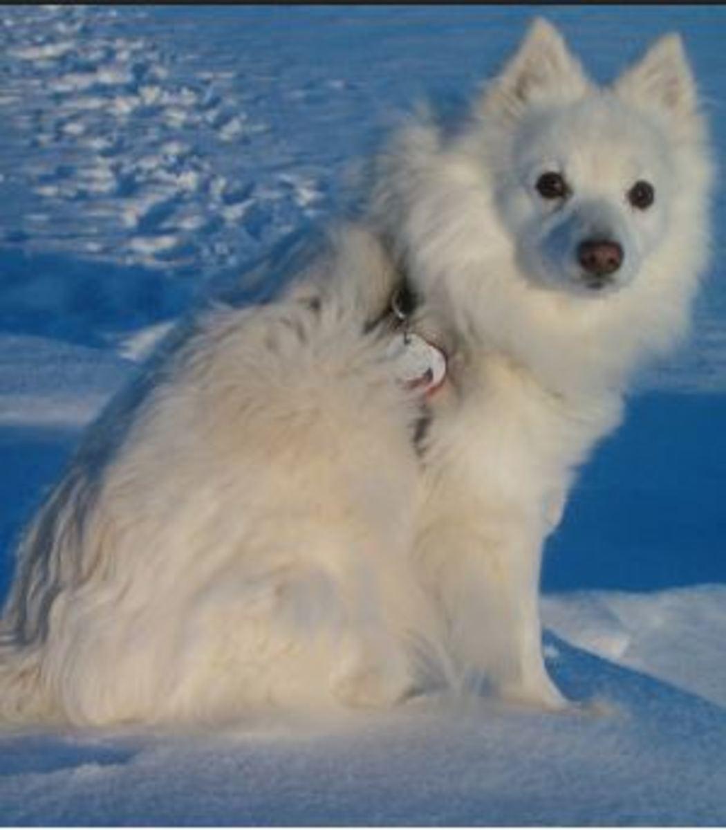 eskimo-dog