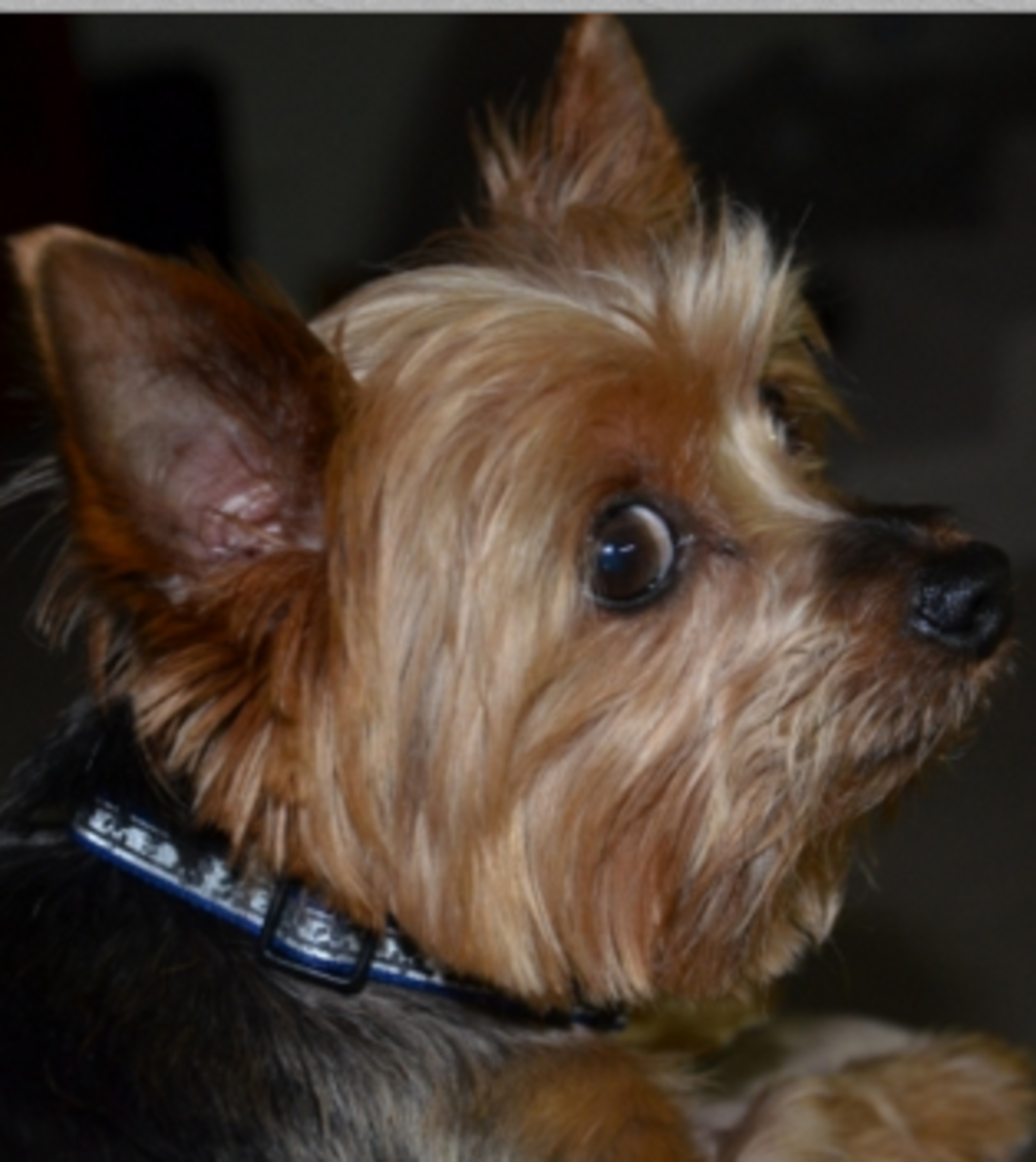 Many dogs show whale eyes when photographed.