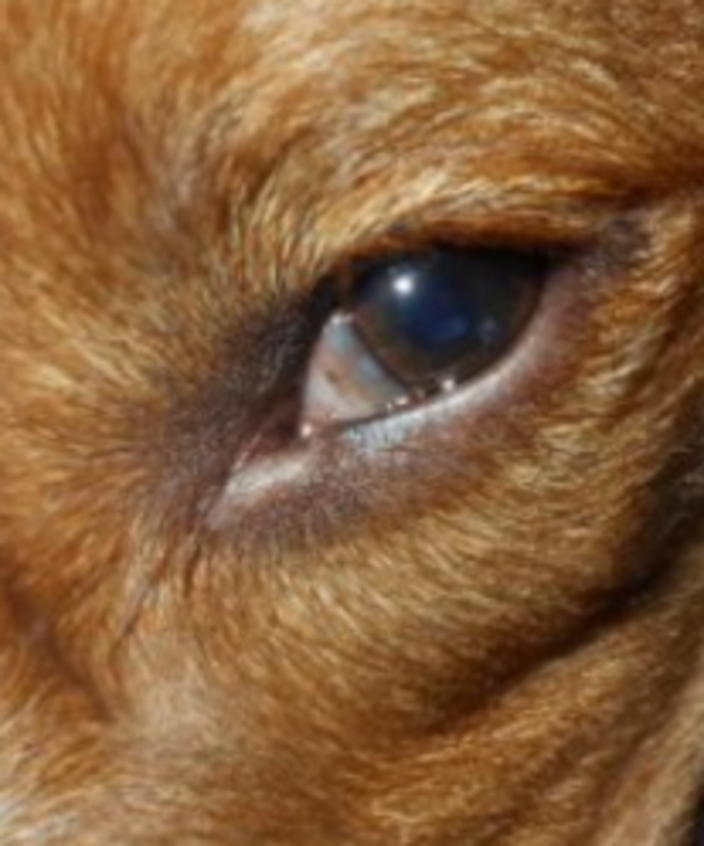 dog third eyelid