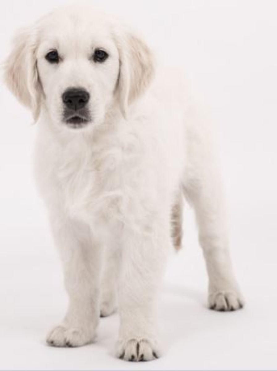 puppy golden retriever