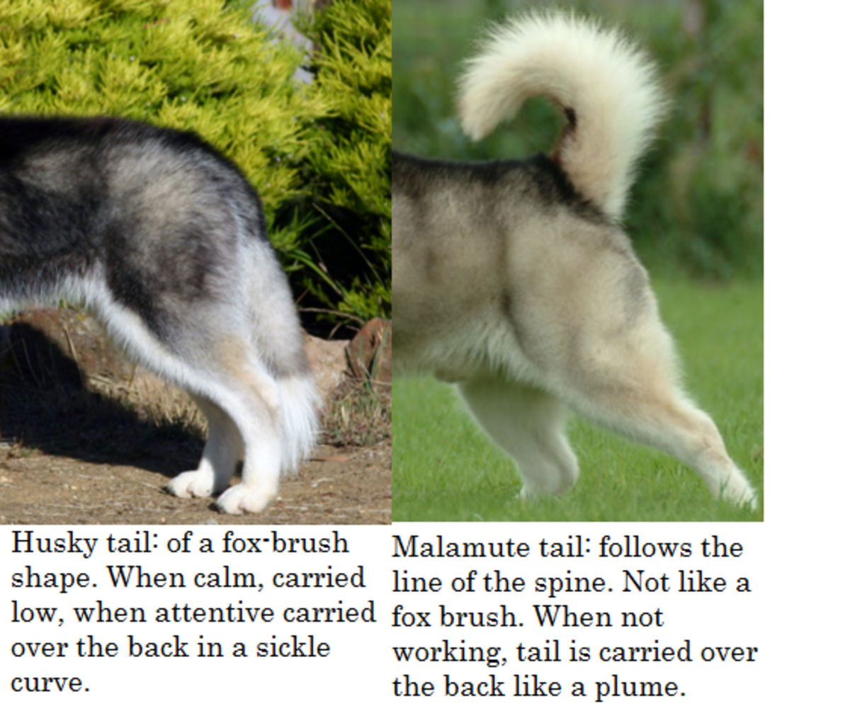 Alaskan Husky Dogs For Sale