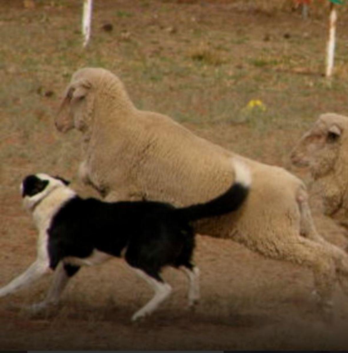 border collie herding