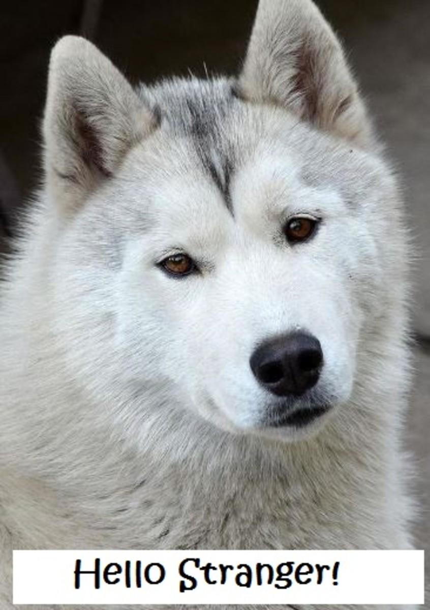 gregarious husky