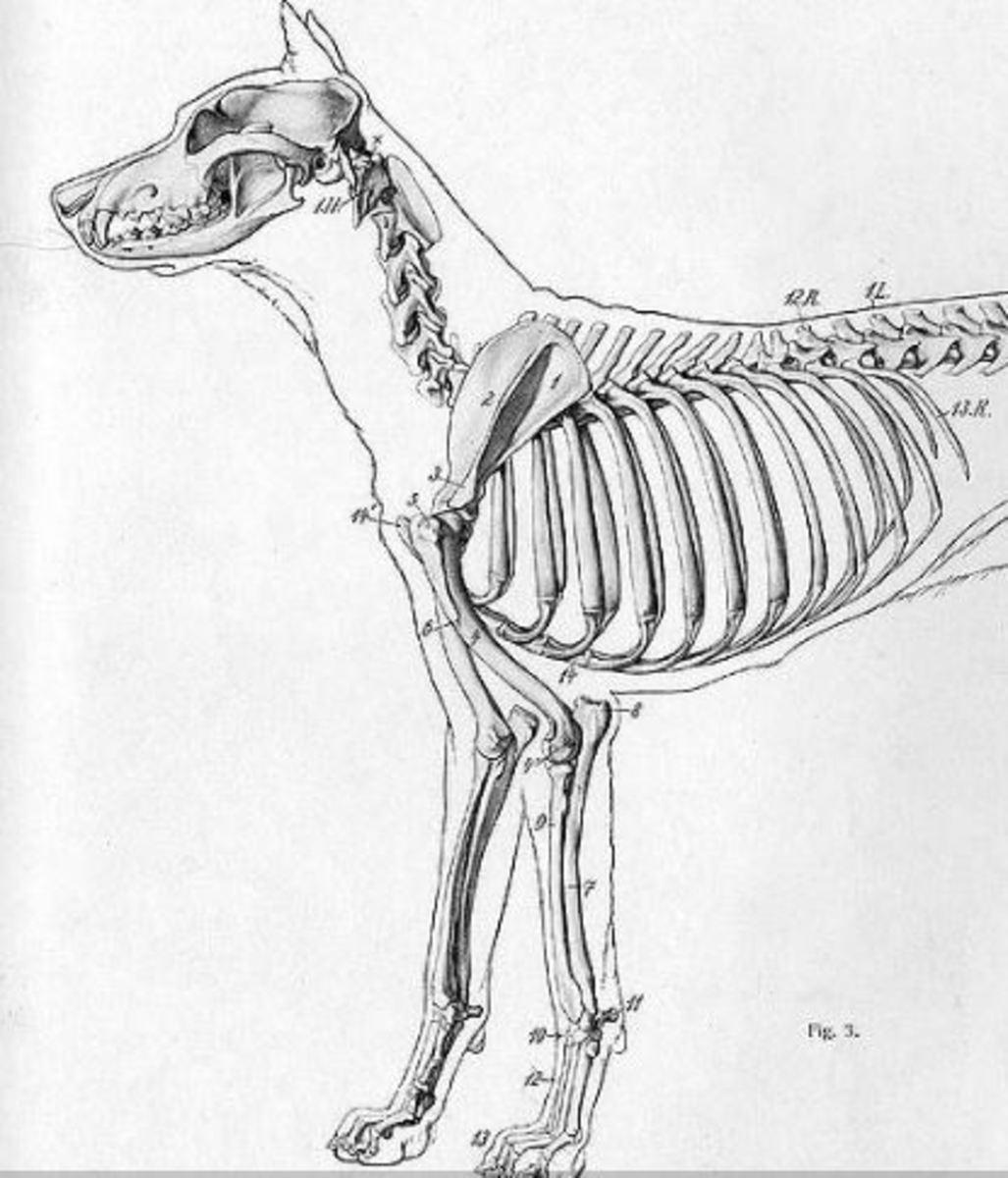 dog-rib-cage