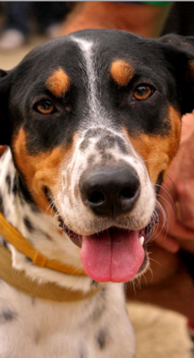 dog markings on face