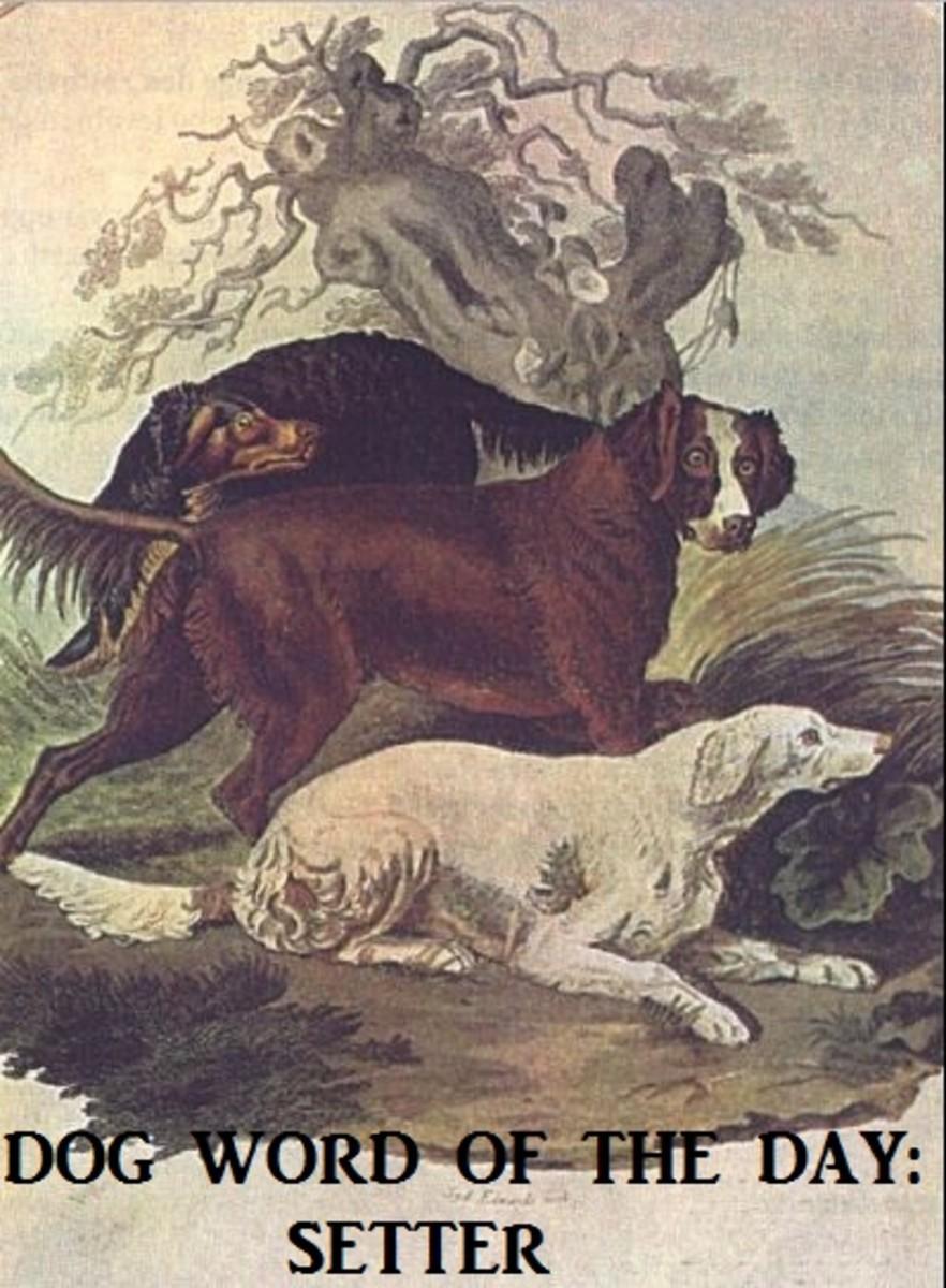 dog-setter
