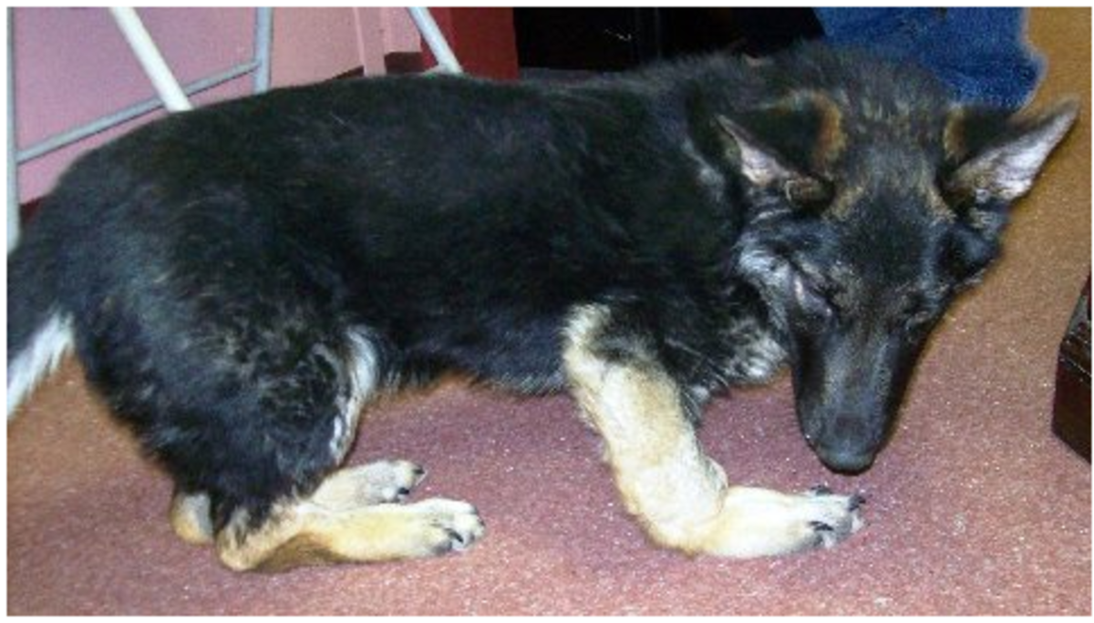 achondroplasia german shepherd