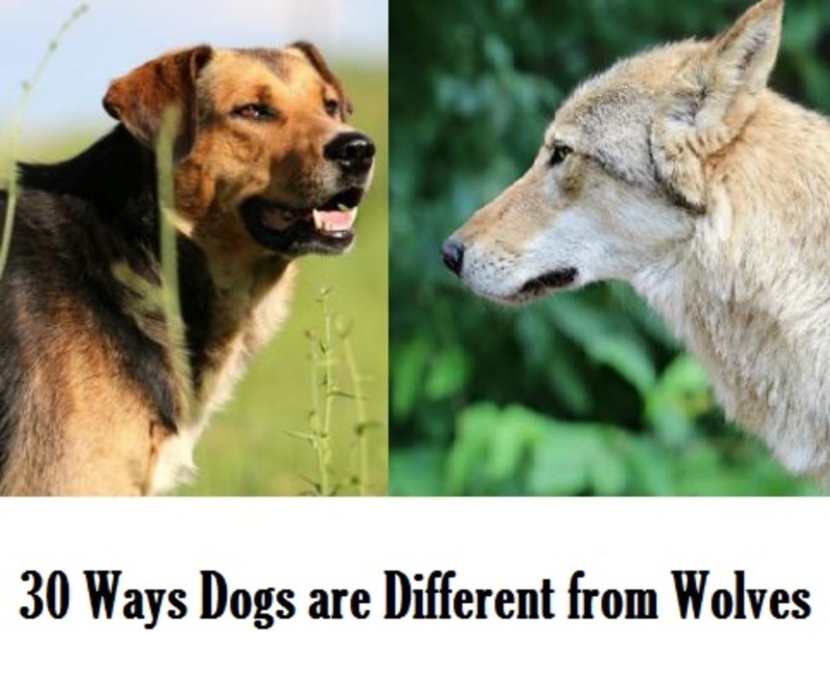 differences between dogs and wolves