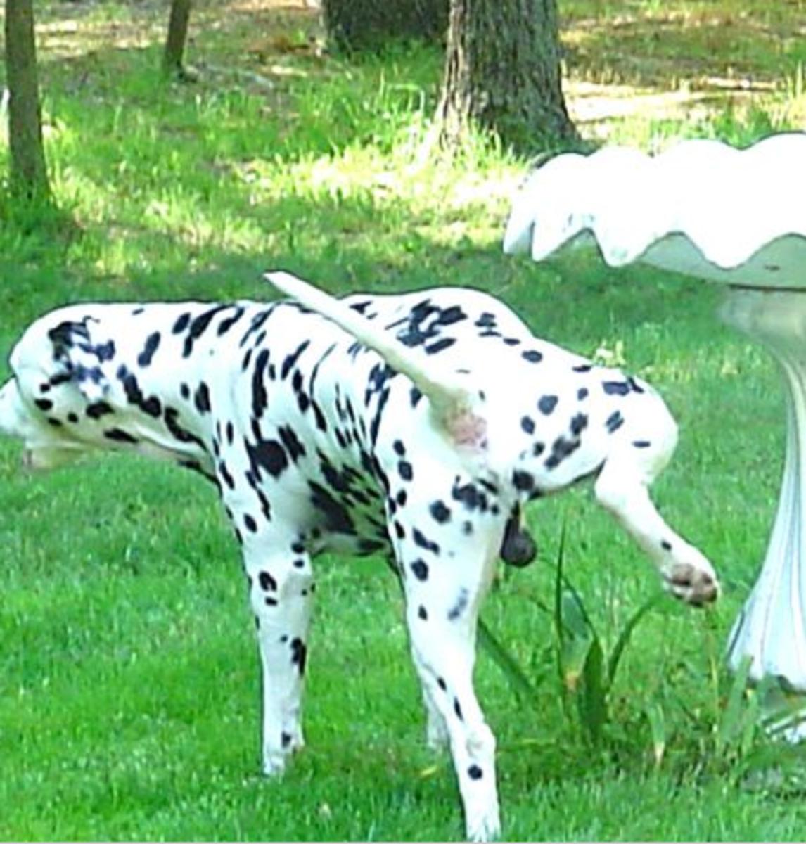 male dog marking