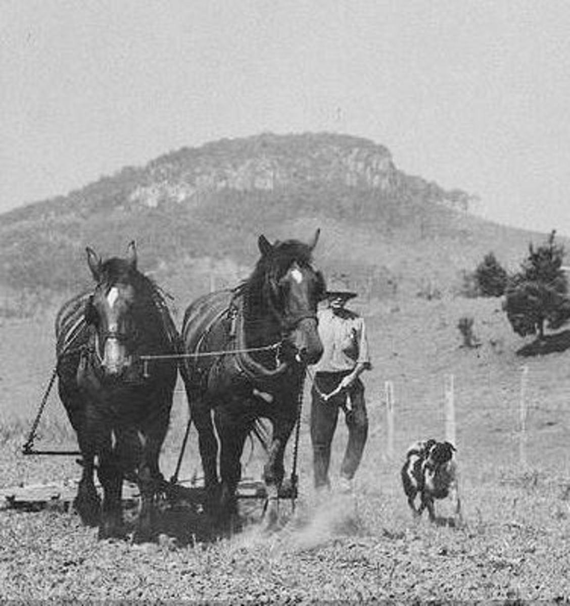 A Queensland heeler working with horses.