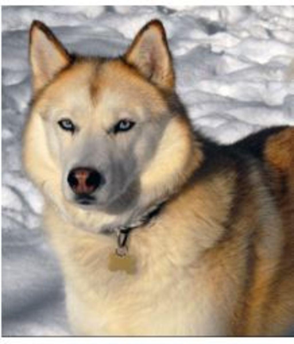 Six Stunning Siberian Husky Coat Colors Dog Discoveries