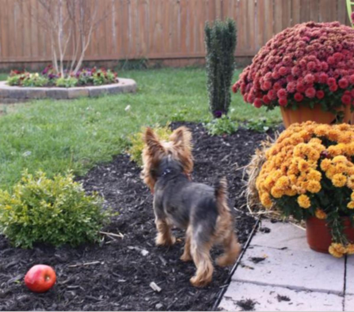 dog digging plants