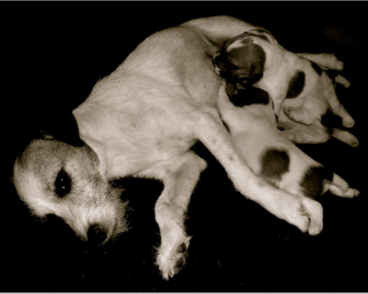 puppies nursing