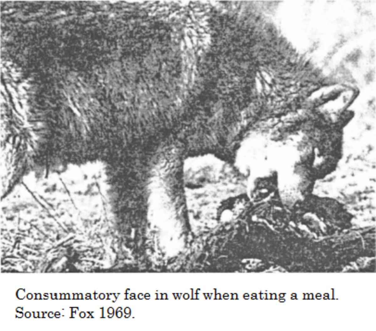 consummatory face in wolf while eating, fox 1969