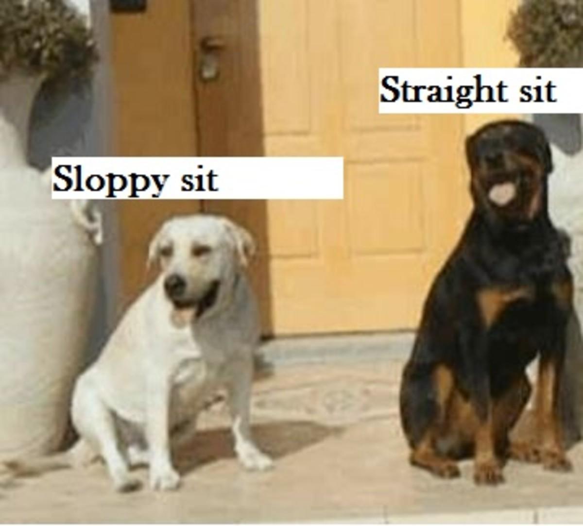 sloppy sit dog