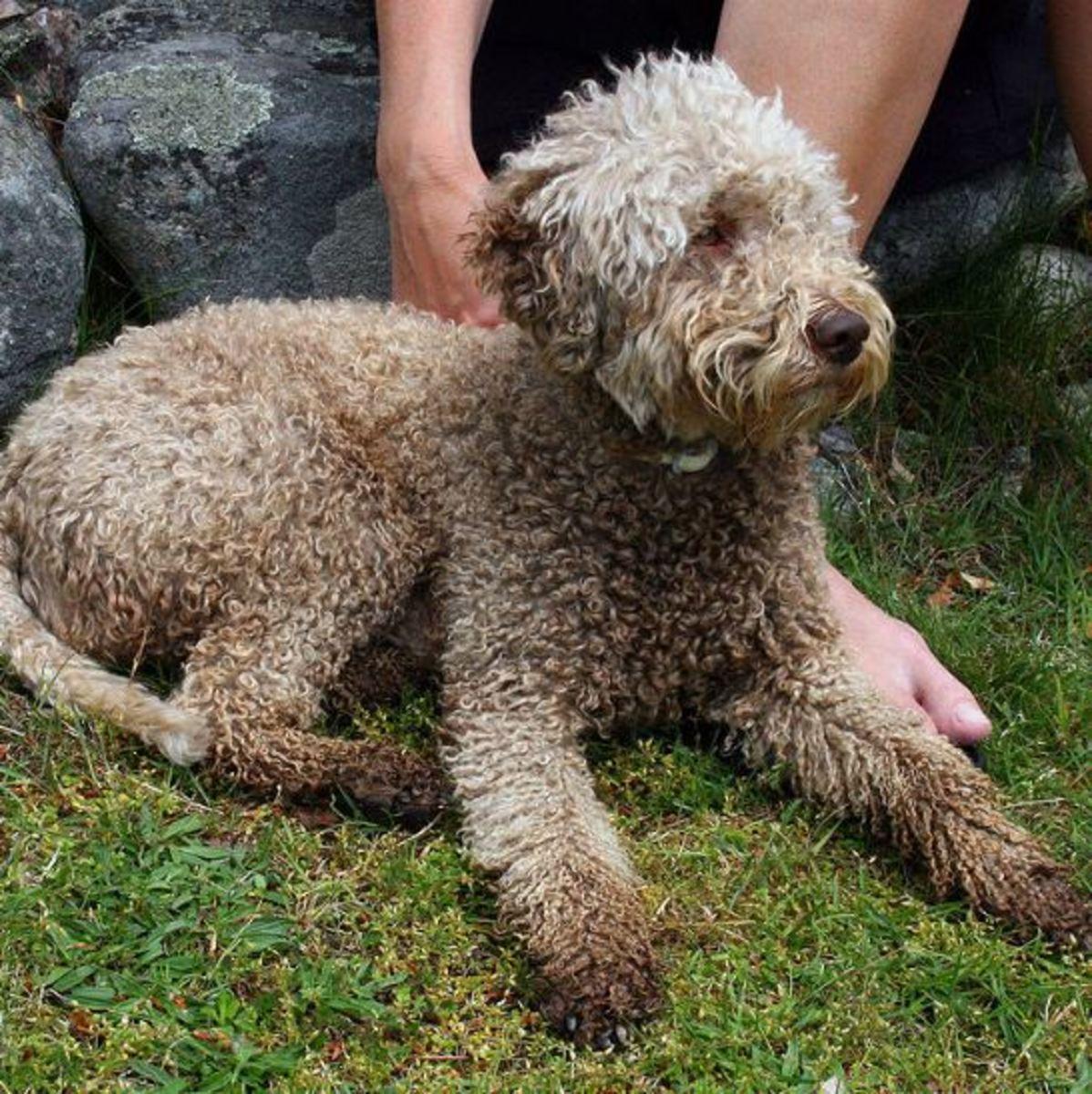lagotto-romagnolo-dog-picture