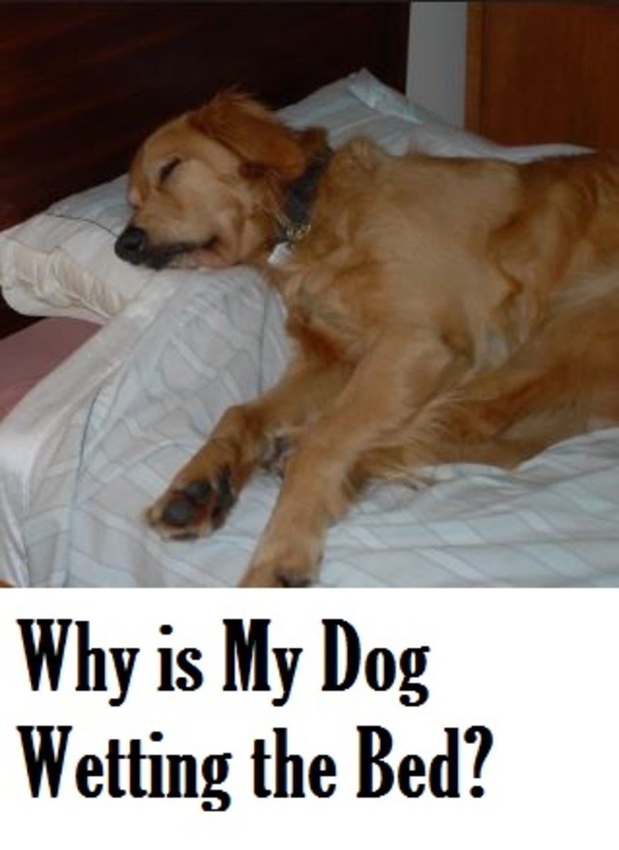 dog wetting bed during sleep