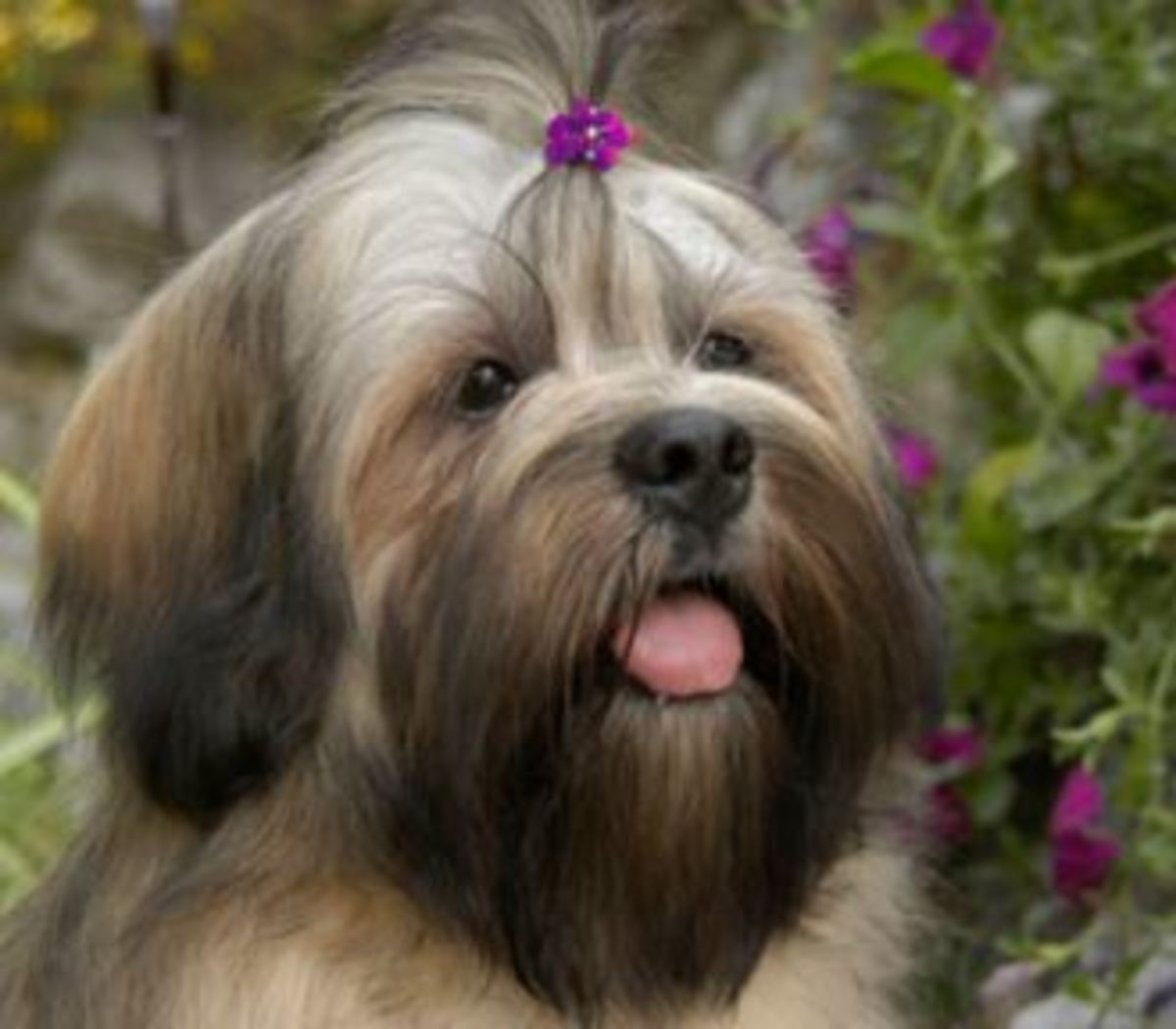 lhasaapso-topknot