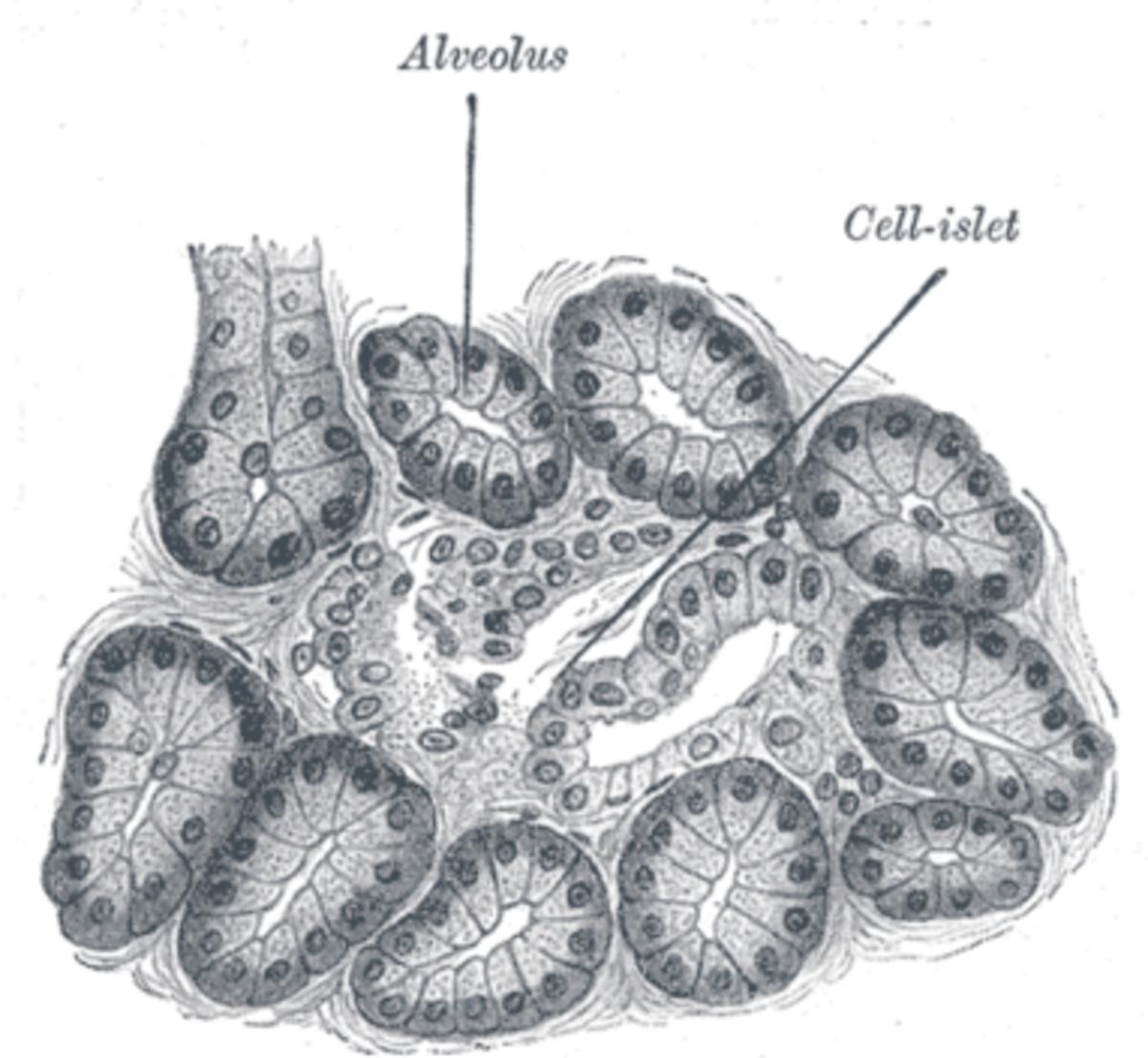 dog pancreas 1