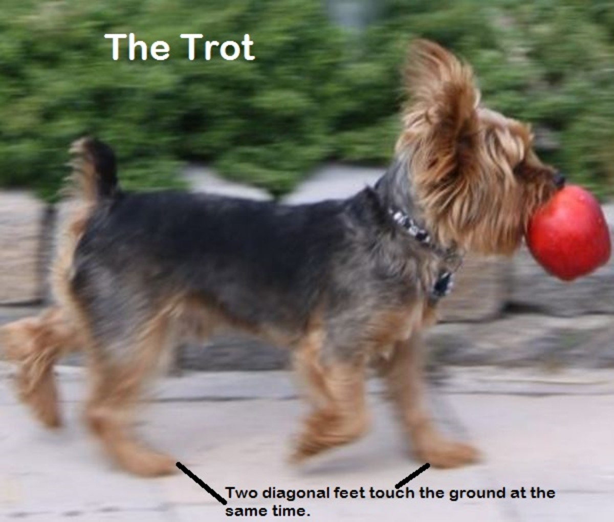 trotting dog gait