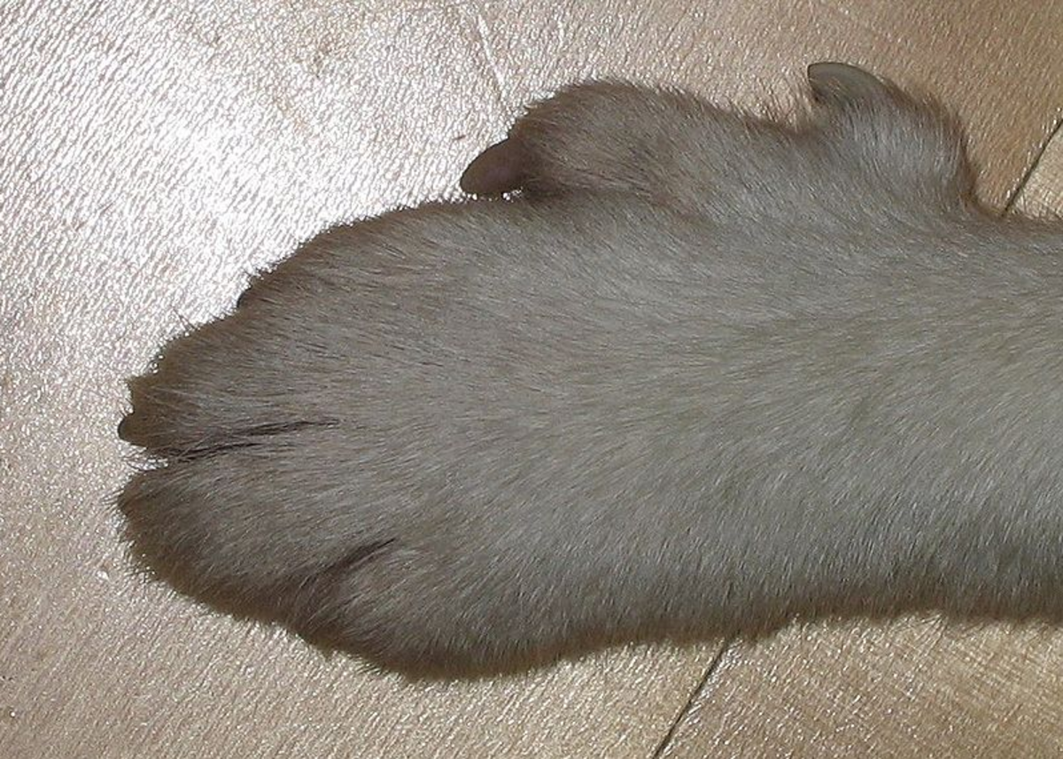 The six toes of the lundenhund