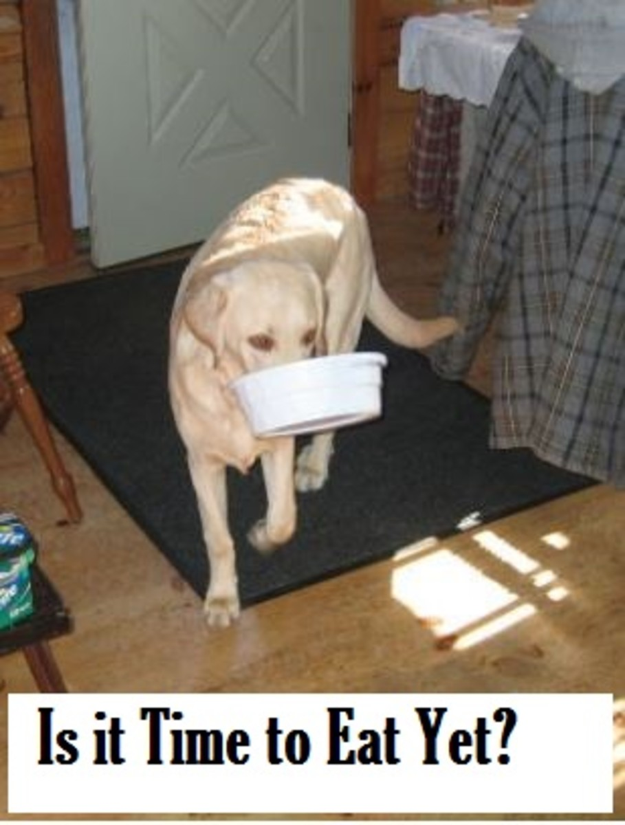 whay are labradors hungry