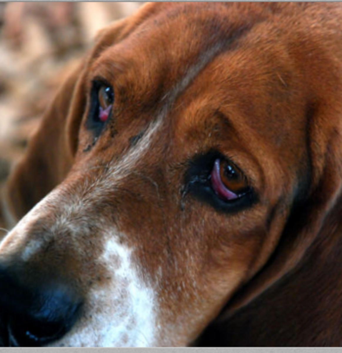 Why Do Some Dogs Have Two Different Colored Eyes